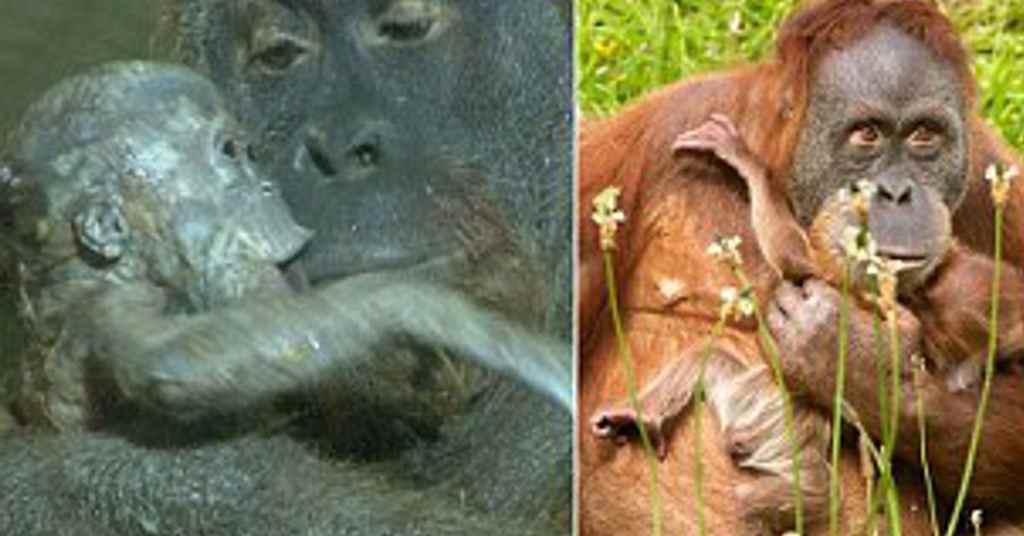 aap orang oetan 1