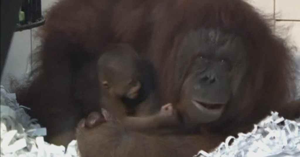 aap orang oetan 3