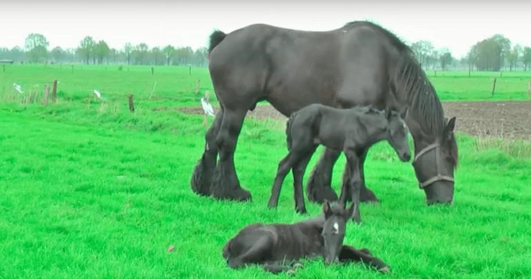 bevalling paard 1