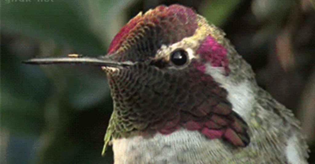 kolibrie 2a