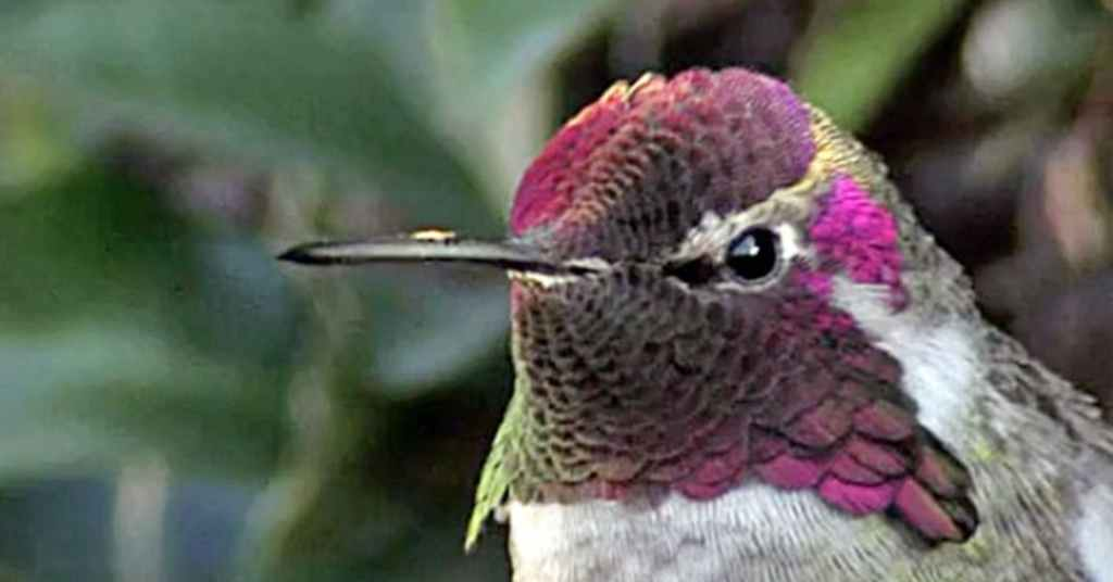 kolibrie 3a