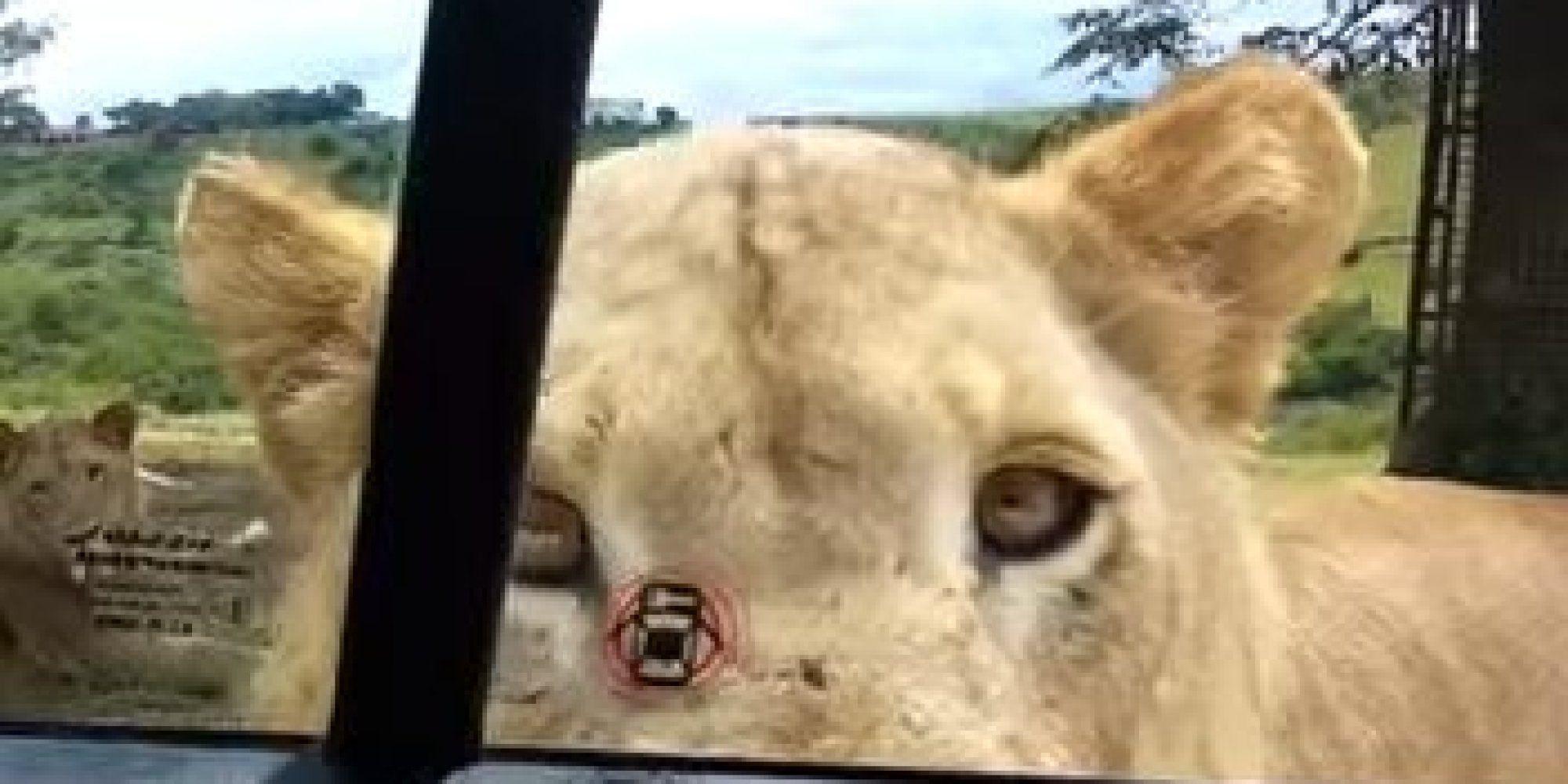 leeuw opent deur auto