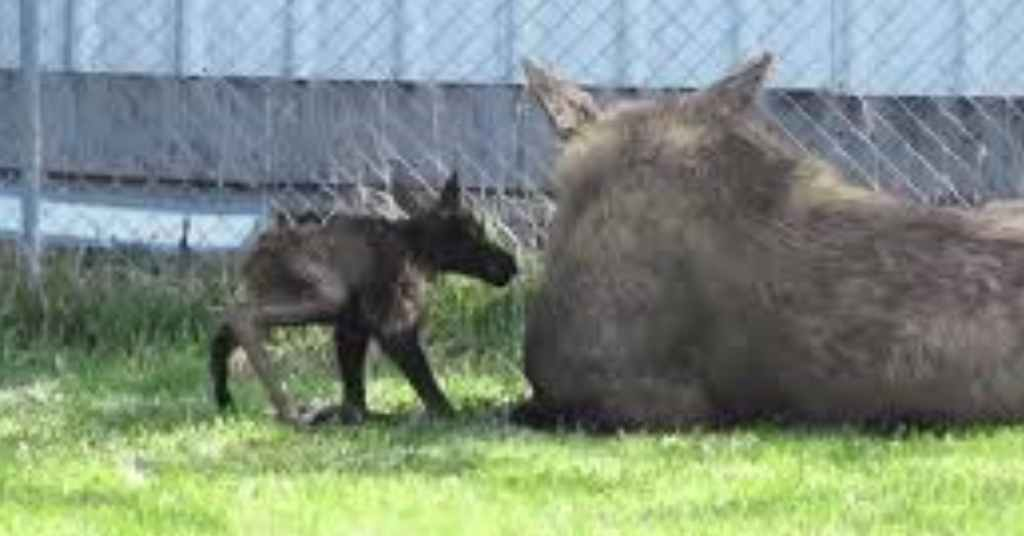 pasgeboren elandjes 3