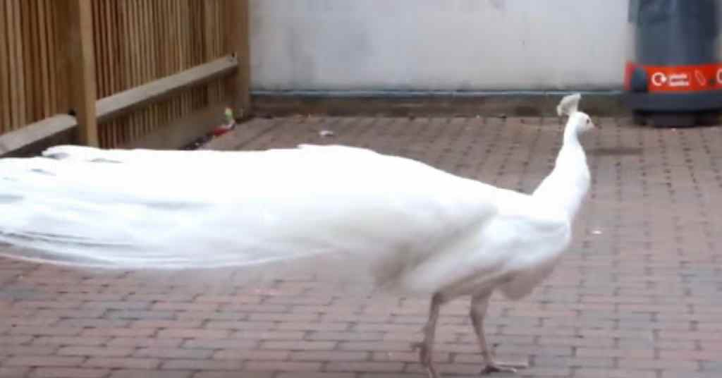 witte pauw 2