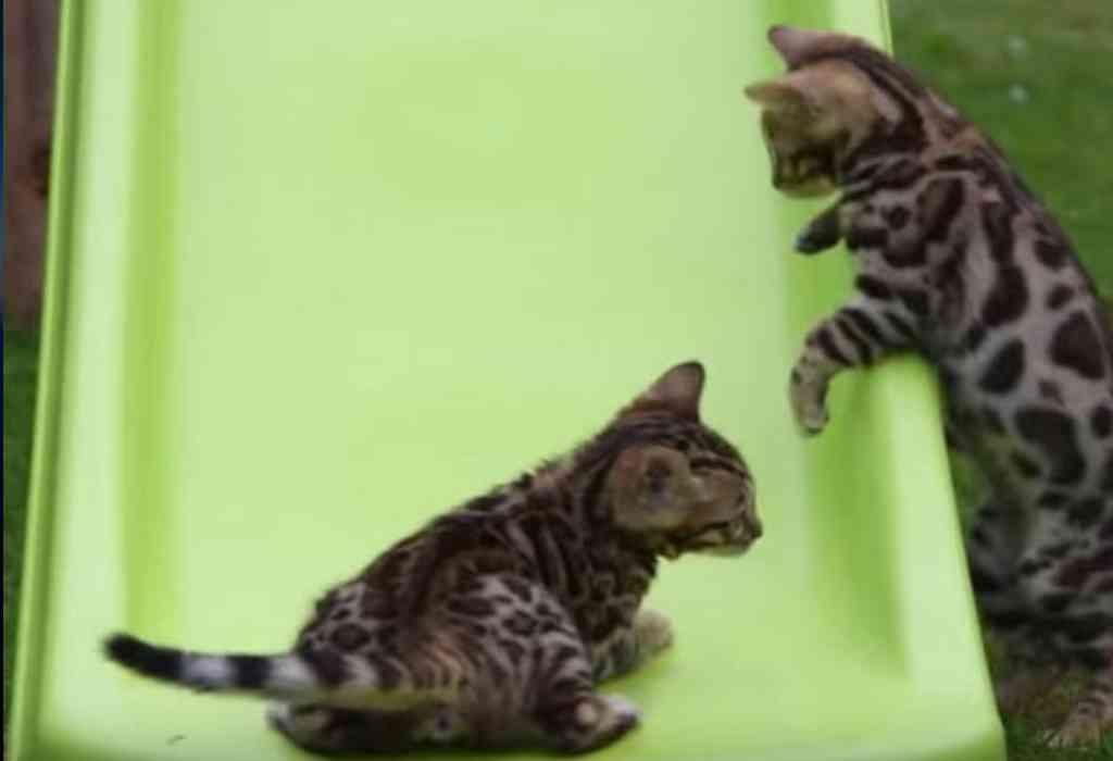 Bengaalse kittens spelen op de glijbaan 1a
