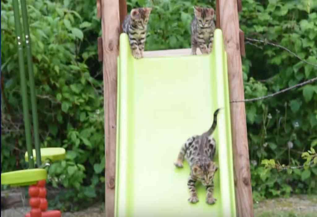 Bengaalse kittens spelen op de glijbaan 3a