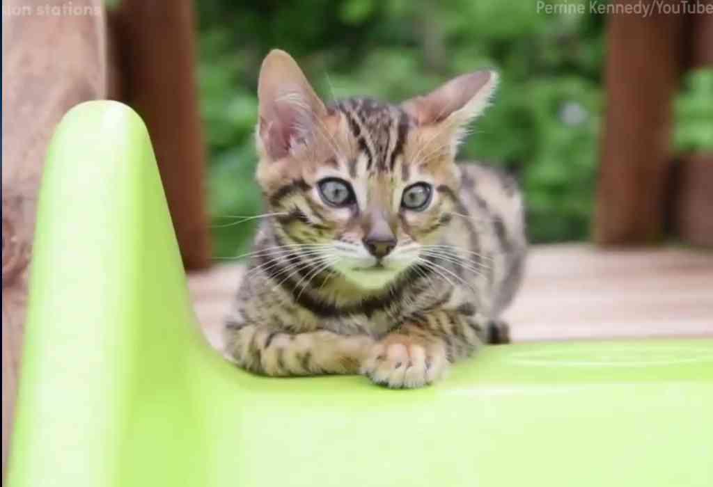 Bengaalse kittens spelen op de glijbaan 4a