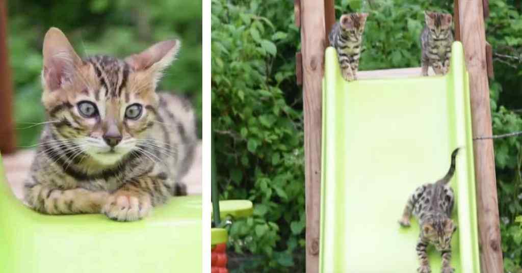 Bengaalse kittens spelen op de glijbaan 5