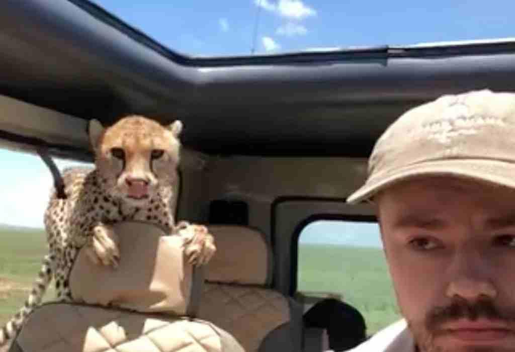 jachtluipaard springt in een safari auto 3a