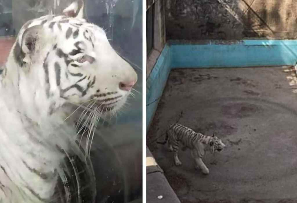 eenzame tijger 1a