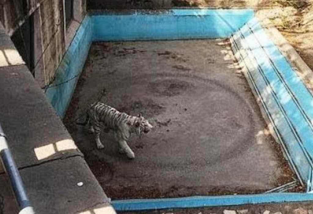 eenzame tijger 2a