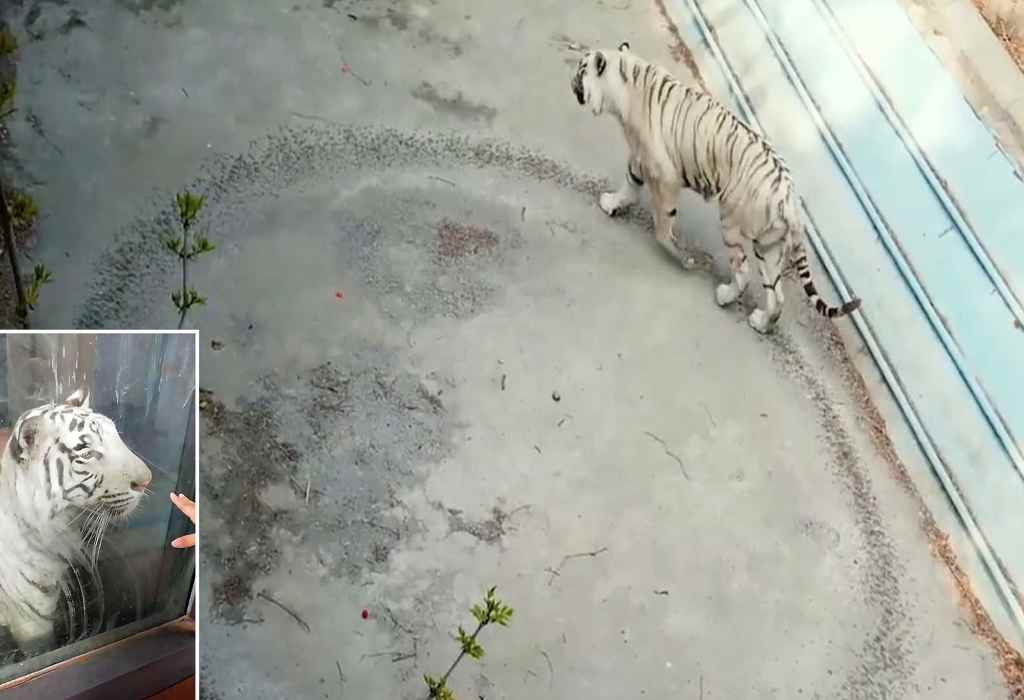 eenzame tijger 3a