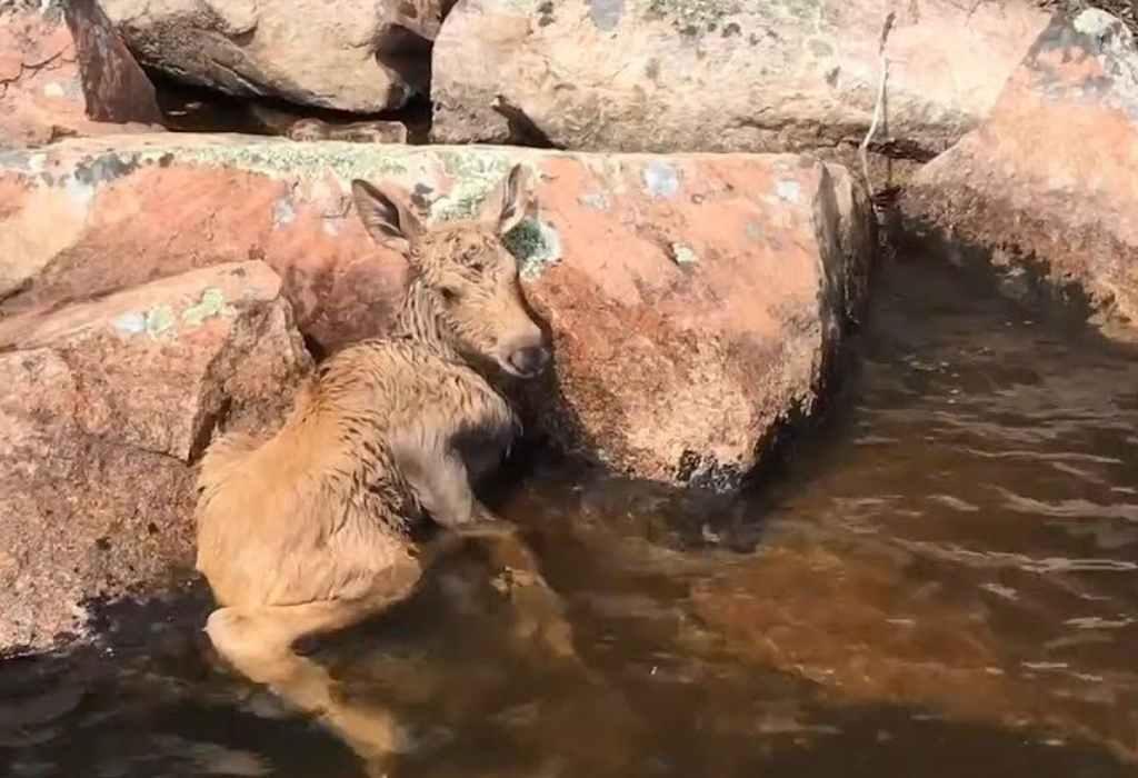 heldhaftige redding baby eland 2a