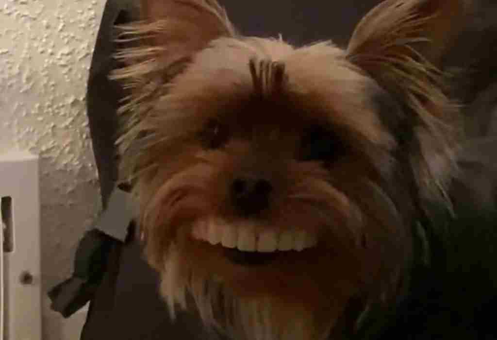 hond met kunstgebit 1a
