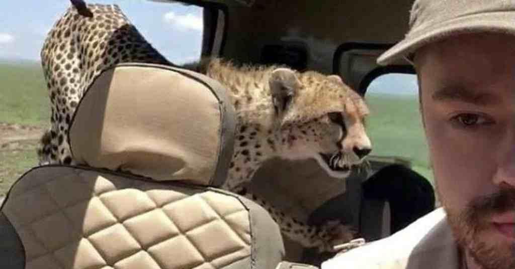 jachtluipaard springt in een safari auto 5
