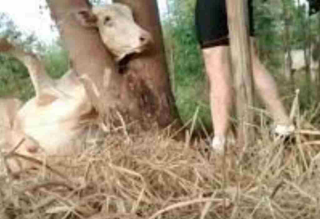 koe in gevaar 2a