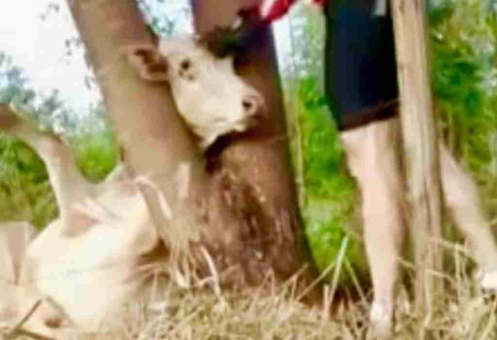 koe in gevaar 3a