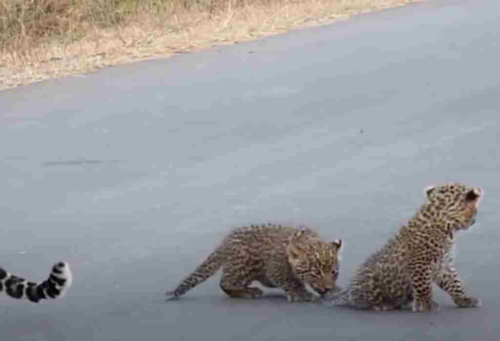 luipaard moeder 4a