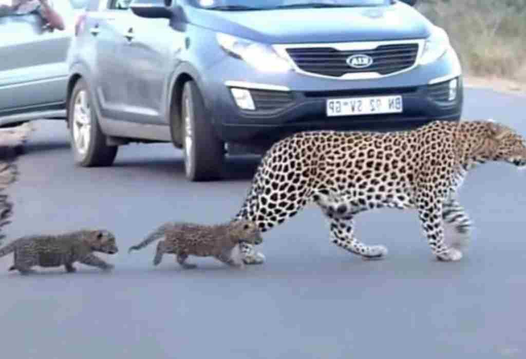 luipaard moeder 5a