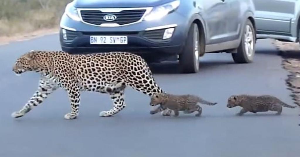 luipaard moeder 6