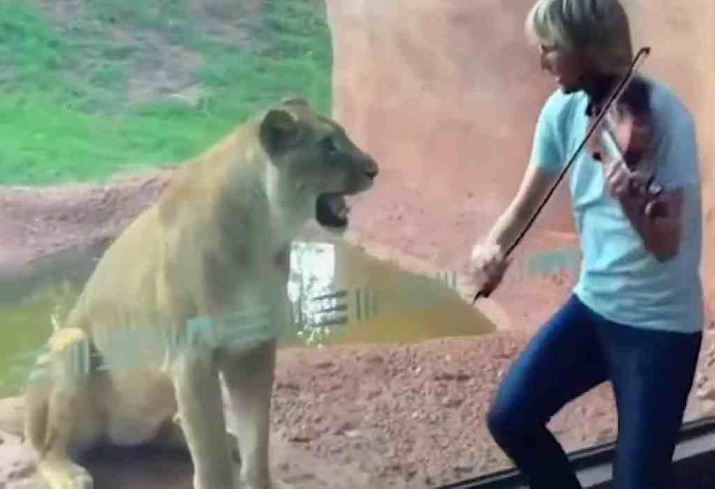 met een viool voor een leeuwin spelen 1a