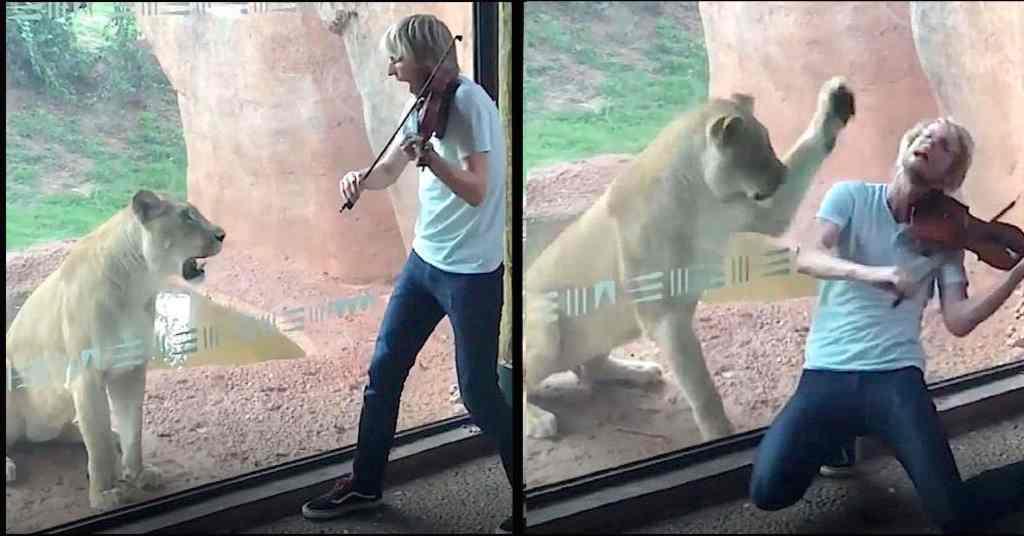 met een viool voor een leeuwin spelen 5