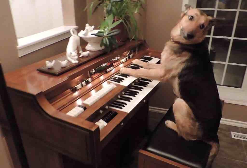 piano spelen hond 1a