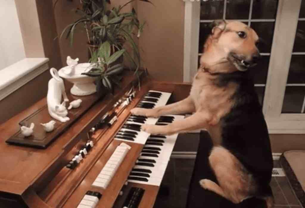 piano spelen hond 2a