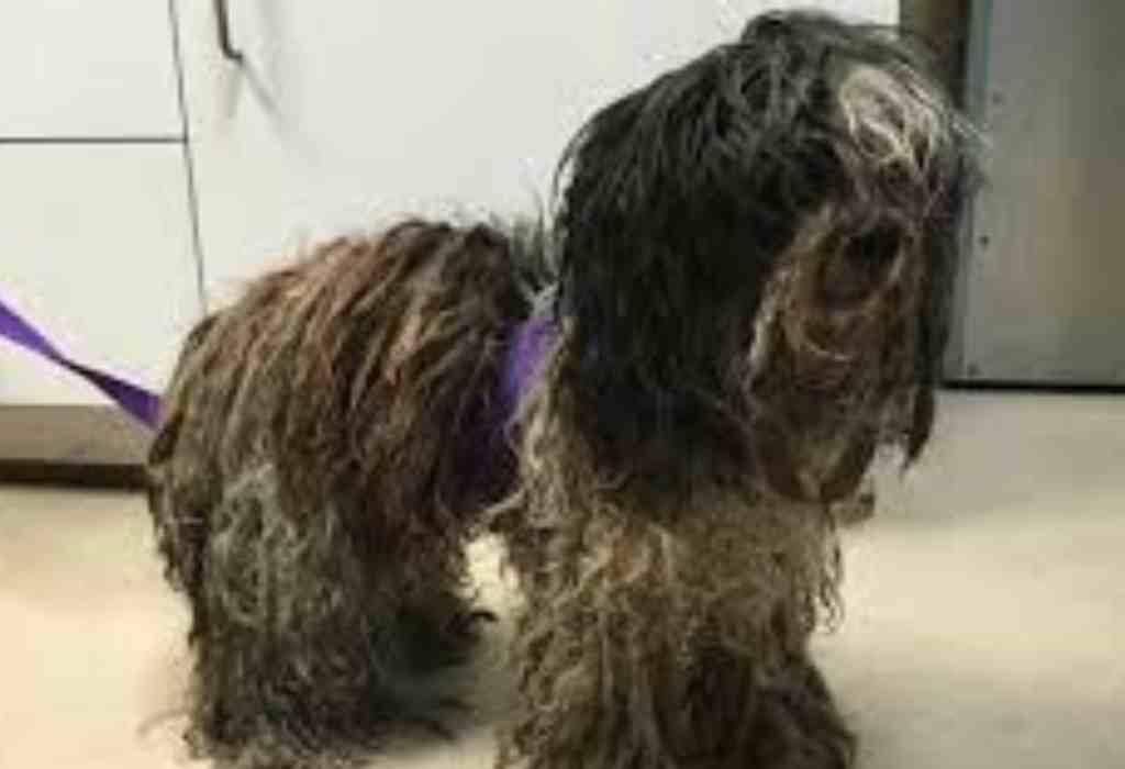 verwaarloosde hond met lang haar 2a