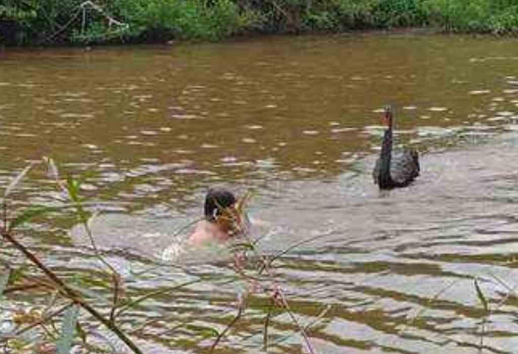 zwemmen met zwanen 2a